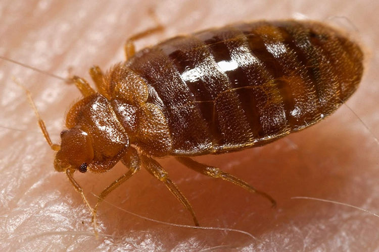 bedbug-Cimex-lectularius-4